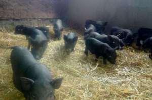 porci vietnamezi de vanzare