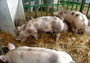 vanzare-porci