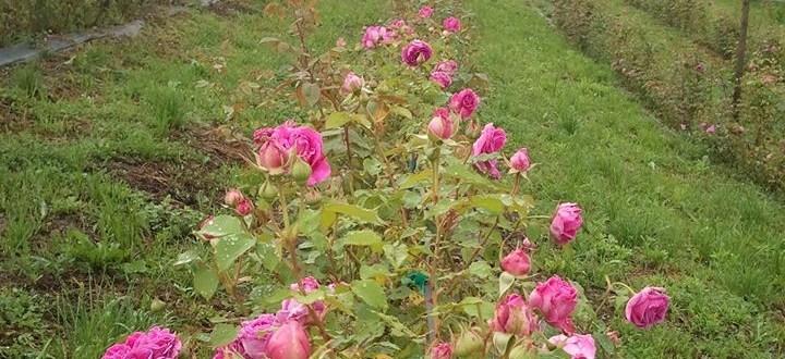 trandafiri2
