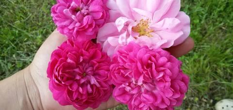 trandafiri dulceata