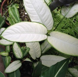 White Leaf Philodendron - source material for Textile study.