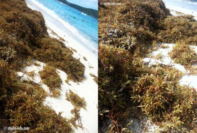 sargassum-hawksnest-stjohn