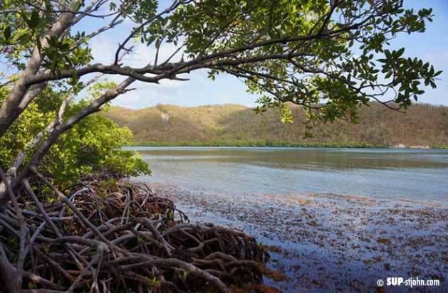 hurricane-hole-mangrove-snorkel-stjohn-usvi