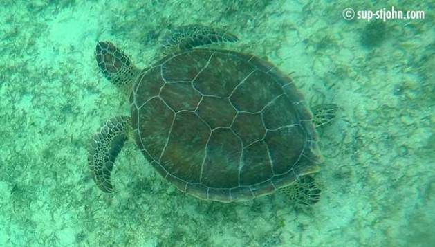 sea-turtle-stjohn-caribbean-usvirginislands