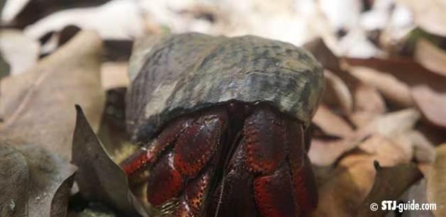 hermit-crab-stjohn