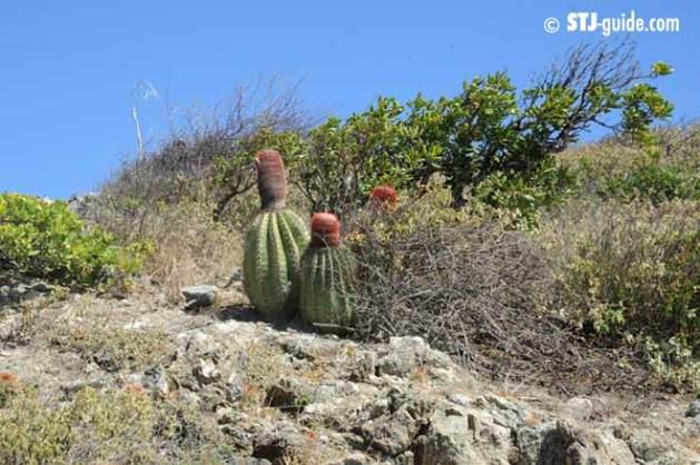 turks-head-cactus-stjohn-usvi
