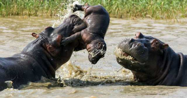 Hippo Facts, Information, Pictures & Vidoe