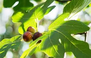 fig tree 2