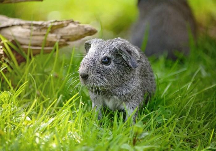 guinea-pig-762131_1280