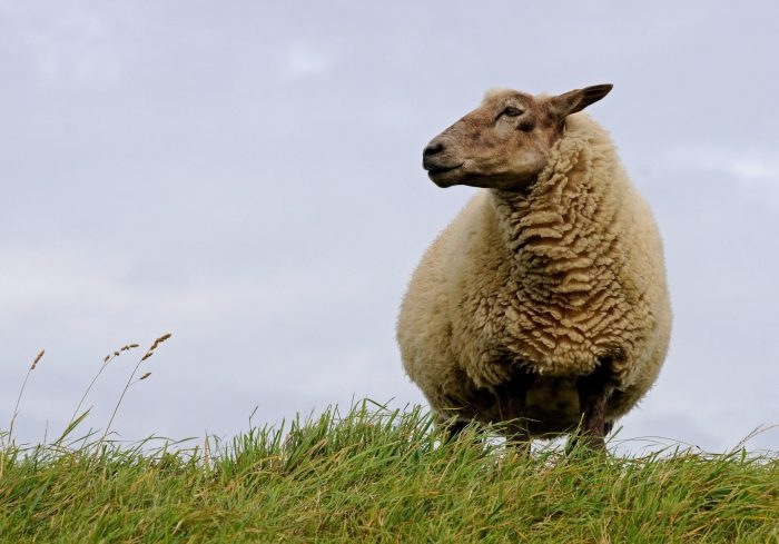 sheep-784562_1920