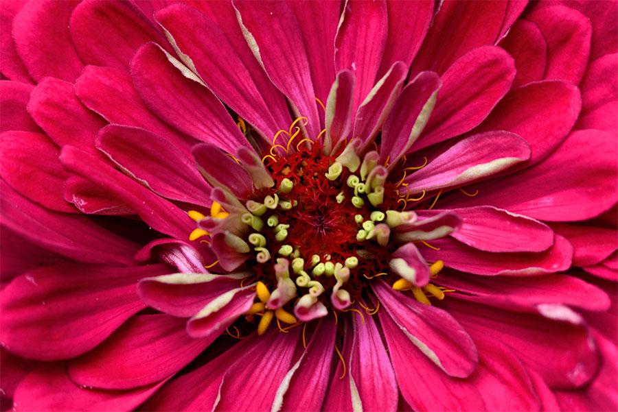 zinien-zinnia-österreich-2015-red-flower