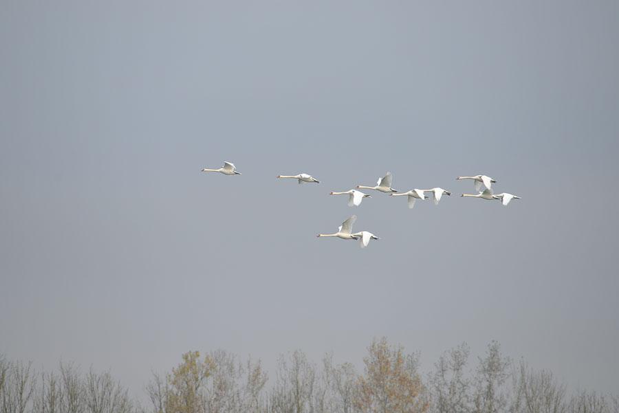 swan_flight_formation_birds_donau_wallsee_austria_autum_2015