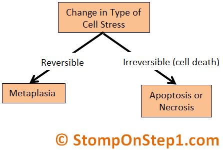 Metaplasia Apoptosis Necrosis Cell Adaption