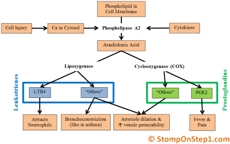 Cyclooxygenase Prostaglandins Leukotrines Phopsholipase A2 arachidonic acid