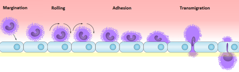 Neutrophil Extravasion Margination Rolling Adhesion Transmigration