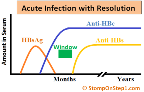 Hepatitis B Serology Acute Infection HBsAg Anti HBs HBsAb