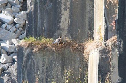 Ein Wanderfalke im Steinbruch von McKeon Stone.