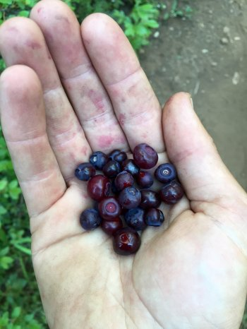 Handful of blueberries picked from alongside the PCT