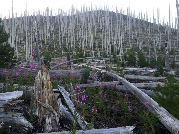 Post wildfire stand of dead trees looking like a porcupine
