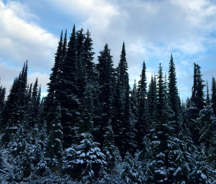 Snow covered trees after a cold night on the PCT