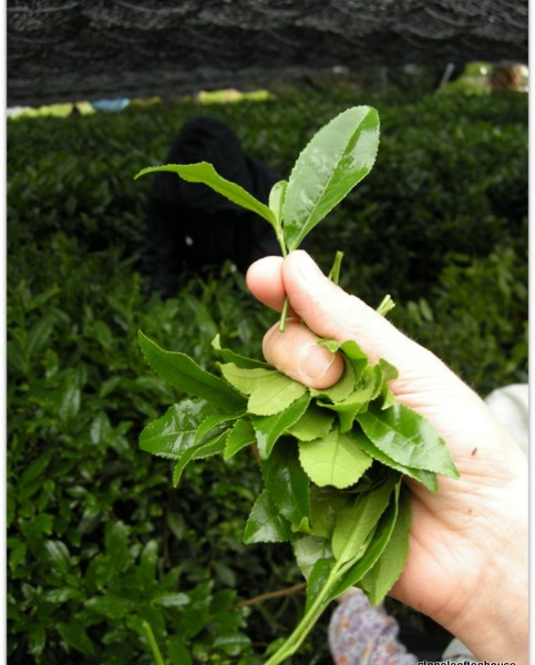Gyokuro Harvesting Tea Tip