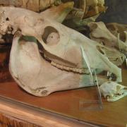 African Animal Skulls 044