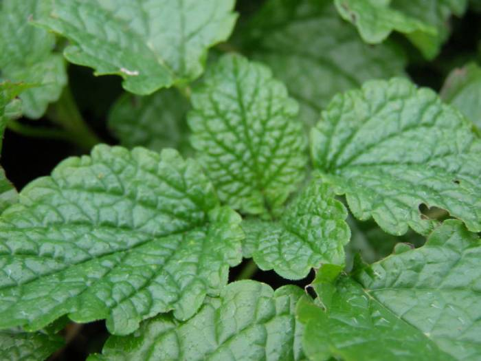 Lemon balm, Melissa officinallis
