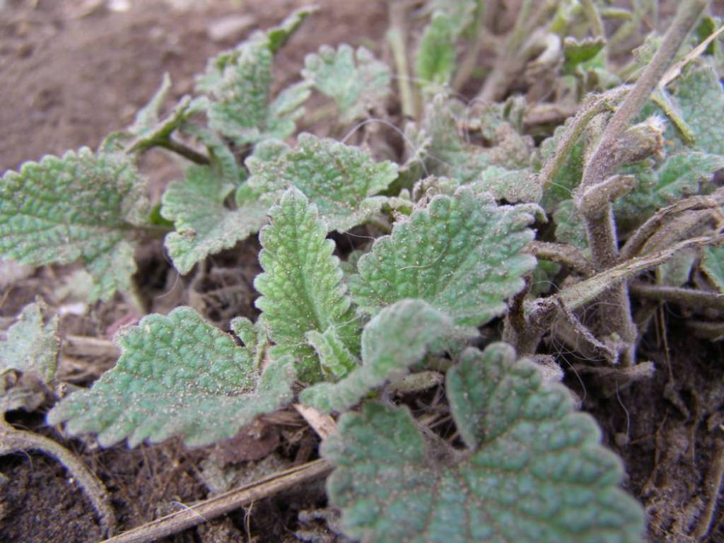 Catnip (Nepeta cataria) plant for sale, nz