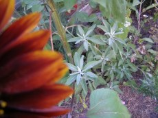 White sage growing with sunflowers
