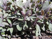 salvia purpurea plants for sale, nz