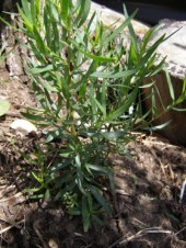 French Tarragon, Artemisia dracunculus, plants for sale, nz