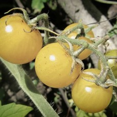 Wee Moonlight, organic heirloom white cherry tomato plant, for sale, NZ