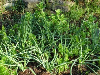 That's my mint there in the background, growing with shallots and carrots