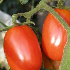 Borghese Princepe, Italian drying tomato, organic heirloom plants for sale, nz