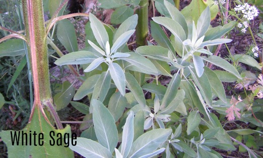 white sage, stoney ground herb practises