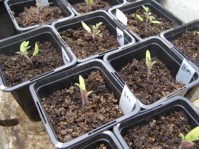 dismal tomato seedlings