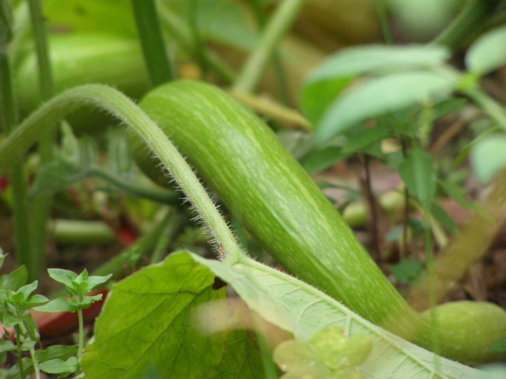 Curly zucchini (Rampicante)! But it's really more of a squash