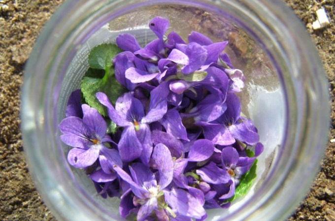 Sweet violet tincture