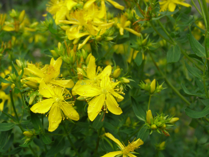 Sunshiney St Johns Wort