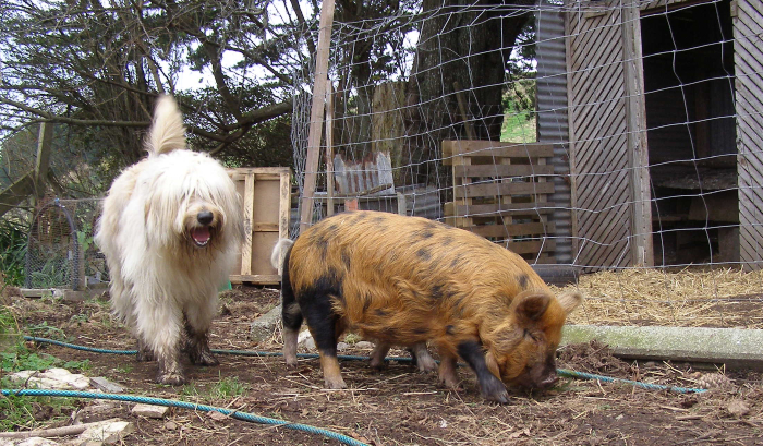 Ginger and black kune kune (and blonde bearded collie)