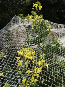 Plants for bees, flowering kale