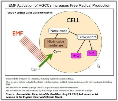 EMF Activation increases Free Radicals