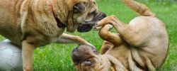 Dealing With Jealousy Between Dogs 20