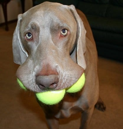 Best Dog Food For Weimaraners Here S Our Top