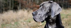 What's The Best Dog Food For Great Danes? 19