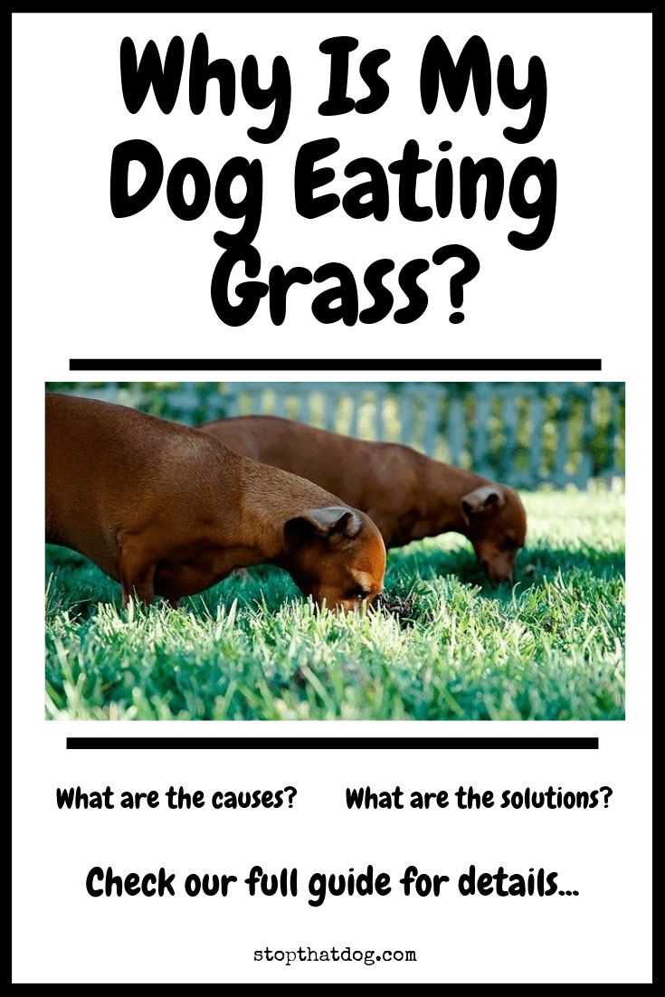 Wondering why dogs eat grass? If so, our guide reveals the common causes and theories behind the behavior, along with some potential solutions.