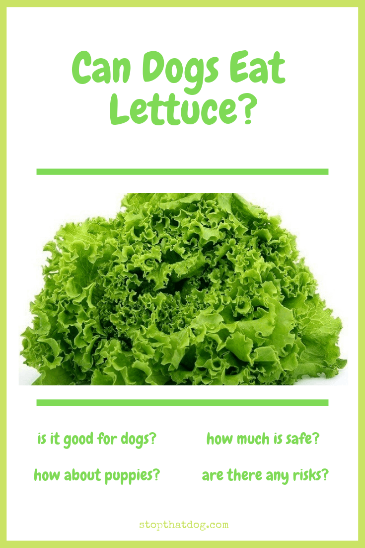 can dogs eat lettuce here 39 s what you should know stop that dog. Black Bedroom Furniture Sets. Home Design Ideas