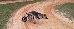 The Best Dog Wheelchairs For Small, Medium, & Large Breeds Reviewed (2020) 29