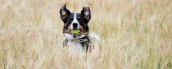 Dog Automatic Ball Launchers - A Fun Way To Keep Your Dog Active 24