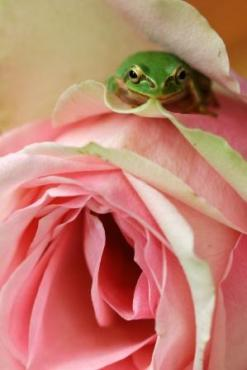 frog-and-rose